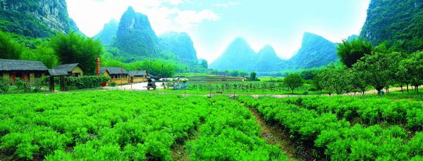 怀集茶秆竹 名扬世界的富贵竹