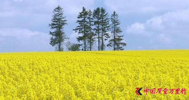 陕西油菜花旅游观光拉动消费 年收入超150亿