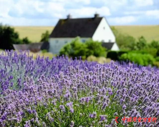 【Lavender fields】 英国的普罗旺斯――盘点伦敦周边最美薰衣草园