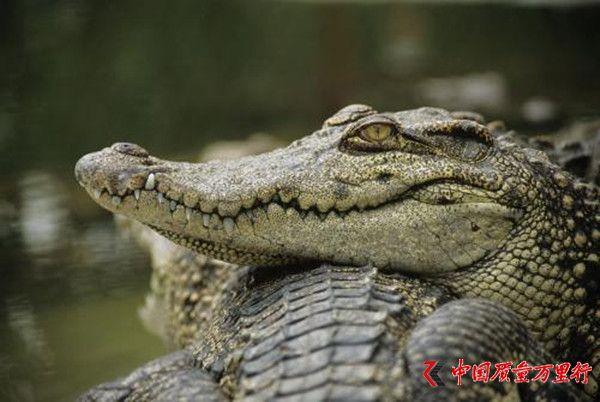 游客注意了!泰国普吉岛海域发现鳄鱼 至今未捕获