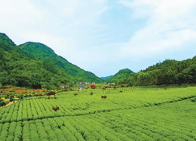 中国黑茶成为世界饮品