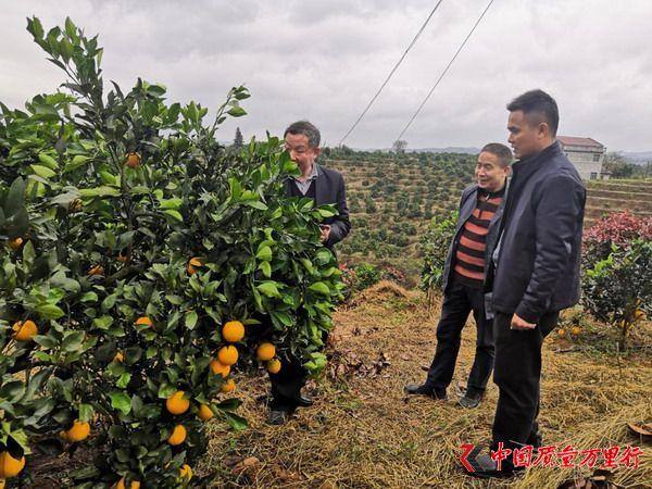 麻阳冰糖橙通过农产品地理标志登记保护现场核查