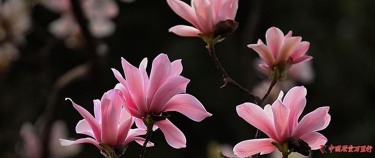"""陕西""""植物熊猫""""古旱莲盛开树龄超400年"""
