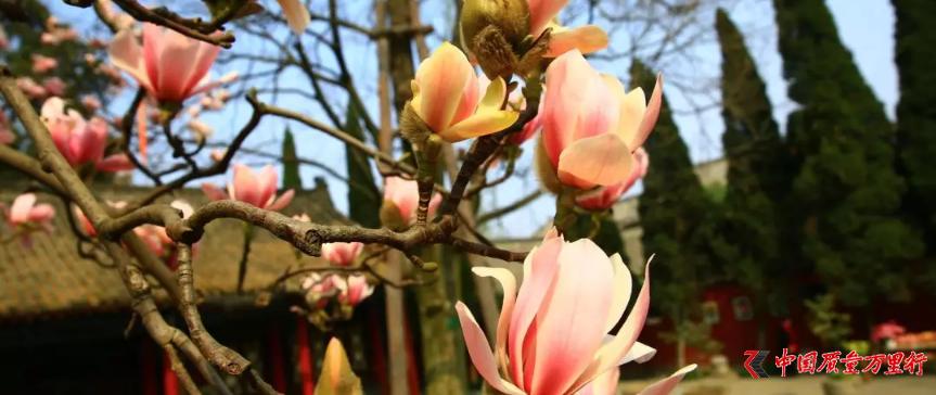 """陕西""""植物熊猫""""古旱莲盛开 树龄超400年"""