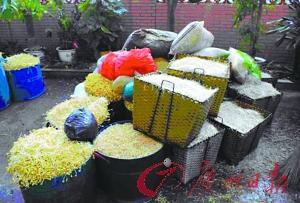 黑作坊日产两千斤毒豆芽 所添激素或致儿童早熟
